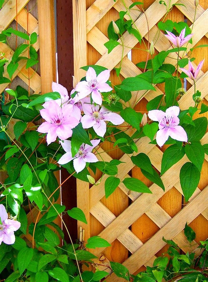 Fence from a tree for climbing flowering plants