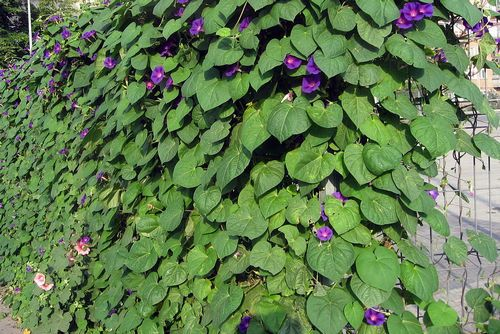 Climbing plants on a chain-link fence