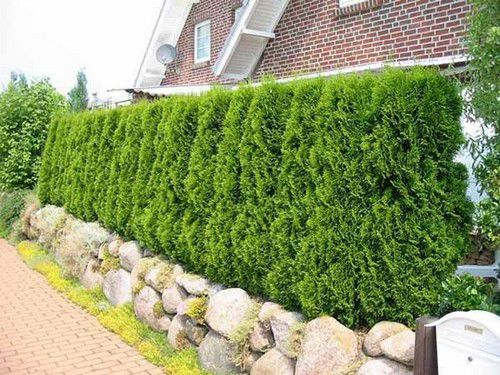 Hedge of conifers on the earthen shaft