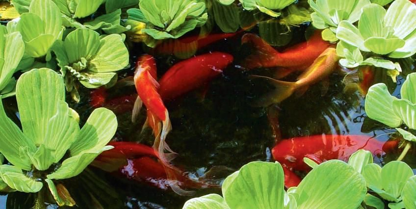 Floating rate ornamental fish - the best decoration of the pond