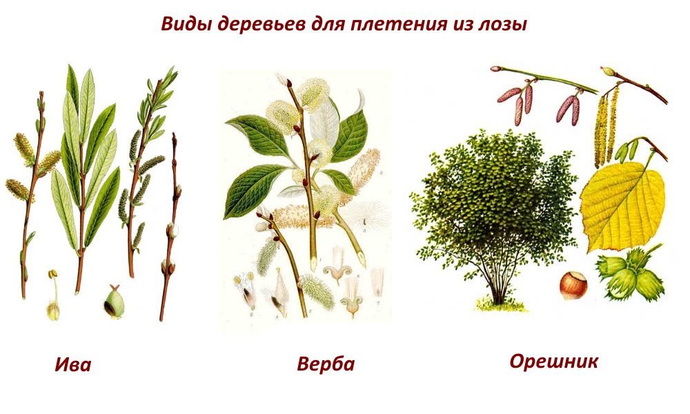 Types of trees to weave the fence of the vine