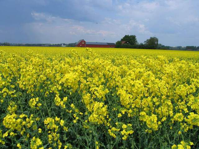 One of the most promising industrial crops - canola