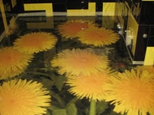 Dandelions - self-leveling floors