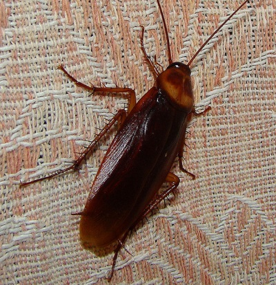 Red cockroach