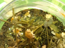 A decoction of herbs for baths
