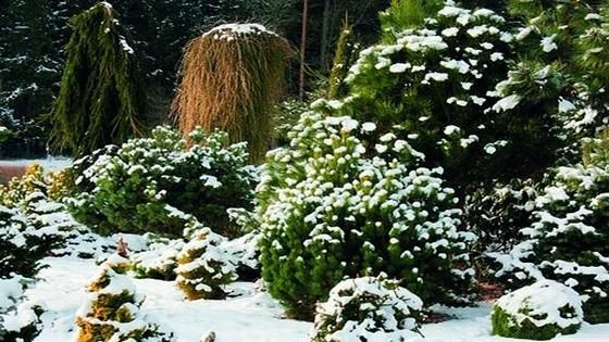 Rboles de hoja perenne del jard n arbustos setos las for Arboles de jardin de hoja perenne