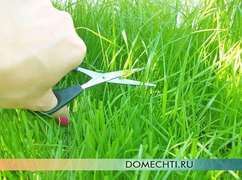 Mowing grass with scissors